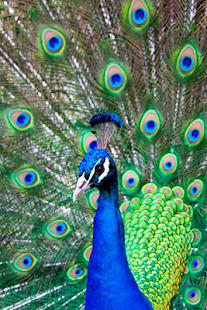 Peacocks Wallpapers - screenshot