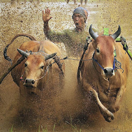 Pacu Jawi-Bull Race by Dadan Ramdani - Sports & Fitness Rodeo/Bull Riding ( sport, travel, bull, people )