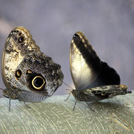 Open and closed by Maresa Sinclair - Animals Insects & Spiders ( butterfly owl brown open closed wings )