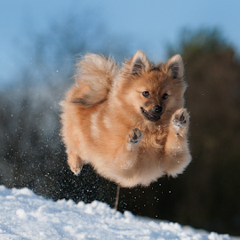 winter snow run  by Michael  M Sweeney - Animals - Dogs Running ( countryside, action dog, dog park, artisitc, furry, tag, zoom, award, reflexion, cute dogs, eyes, contrast, colour, autofocus, over, curious, colourful, d3, relaxed, snow, composition, action, reddish, weather, best friend, motion, trick, animals, colors, white, underside, michael sweeney, urban landscape, tail, jump, charming, canine, air, fast, travel photography, flyer, animail, scotland, natural light, warm, jumping, photographs, colorful, joy, blue skies, wildlife, young photographer, michael m sweeney, city park, cute, running, character, clear, training, flying, adorable dogs, epic, wow, style, joyfull, boppy, pomerainan, beige, fur, iced, nikon, celebrate, small dog, activity, athlete, top, uk, speed, up and down, pomeranian )