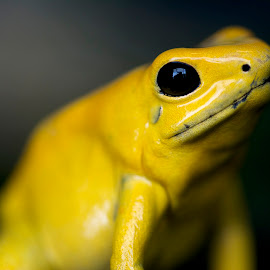 Luminous by Wade Tregaskis - Animals Amphibians ( frog, green, bokeh, portrait, eye )