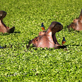 Three Hippo in Water Lettuce by Architektura Krajobrazu Landscape Architecture - Animals Other Mammals ( full frame, masai mara national reserve, masai mara, wildlife, kenya, cute, photography, front view, water cabbage, nature, color image, animals in the wild, no people, animal head, safari, nile cabbage, africa, pond, smiling, animal, water, water lettuce, hippopotamus, green, one animal, aquatic mammal, mammal, three animals, bird, aquatic, horizontal, outdoors, selective focus, safari animals )