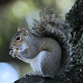 Thanksgiving Day 21 by Terry Saxby - Animals Other Mammals ( usa., terry, florida, zephyrhills, nancy, saxby, squirrel,  )