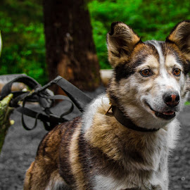 Colby  by McKenzie Barnum - Animals - Dogs Portraits ( ak, seavey, headshot, alaska, seward alaska, seward, husky, dog lot, dog, eye )