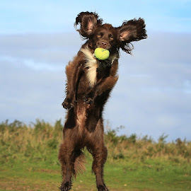 Anyone for Tennis! by Dave Roberts - Animals - Dogs Playing ( gundogs, working dogs, dog at play )