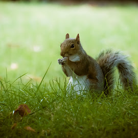 Picnic in the park by Wayne Giles - Animals Other Mammals ( nature, park, nuts, squirrel,  )