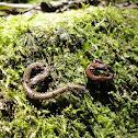 Taylor's Pigmy Salamander