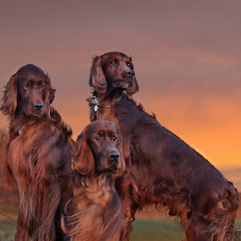Sunset on the River Huntspill by Ken Jarvis - Animals - Dogs Portraits ( sunset, irish setter, rivers,  )