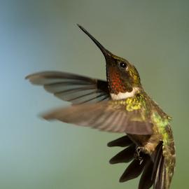 Pretty Boy by Linda Shannon-Morgan - Animals Birds ( nature, ruby throated hummingbirds, male, wildlife, birds, hummingbirds, hummer )