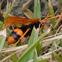 Orange Spider Wasp I