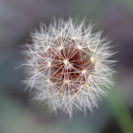 Final Stand by Janet Herman - Nature Up Close Other plants ( plant, seed head, dandelion, nature, autumn, 'weed, fall, seeds )