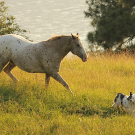 Butch and Sundance by Lena Arkell - Animals Horses ( okanagan lake, horse, summer, australian shepherd, appaloosa,  )