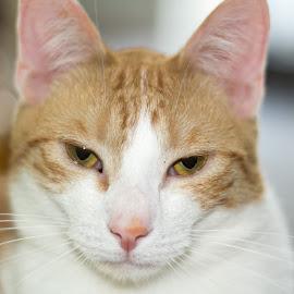 Honor by Bjay Aysel - Animals - Cats Portraits