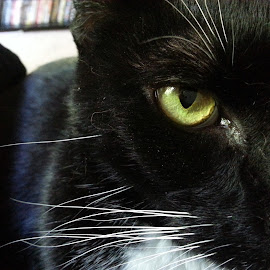 Eye of the Panther by Zachary Hope - Animals - Cats Portraits