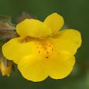 Golden Monkey Flower