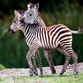 Little Zebras by Cristobal Garciaferro Rubio - Animals Other Mammals