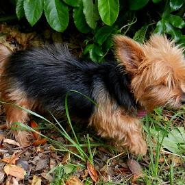 Terrier in Yard by Kathy Rose Willis - Animals - Dogs Running ( grass, long hair, brown, dog, running, black,  )