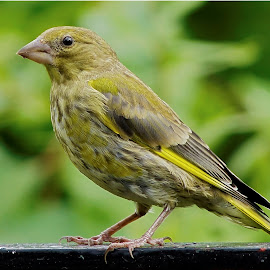 Greenfinch by Hans Olav Beck - Animals Birds ( greenfinch )