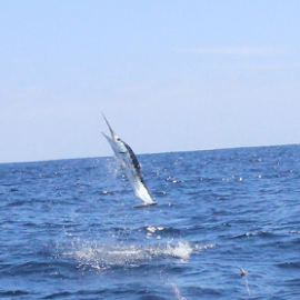 White Marlin by Ron Walker - Animals Fish ( marlin, jumping, fish, sea, ocean, fishing )
