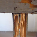 Termite Nest Damage