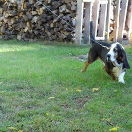 action shot...running on the dog run by Lisa Bergstrom - Animals - Dogs Running