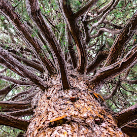 Sequoia by Cory Bohnenkamp - Nature Up Close Trees & Bushes