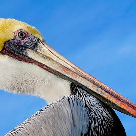 Proud Pelican by Barbara Brock - Animals Birds ( pelican closeup, pelican profile, pelican )