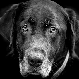 Vicky by Laura Greene - Animals - Dogs Portraits ( black and white, animal )
