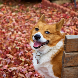 Kiba Relaxing by Lizzy Foxx - Animals - Dogs Portraits ( welsh, relax, happy, corgi, fall, puppy, dog )