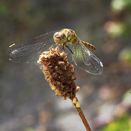 Common Darter by Chrissie Barrow - Animals Insects & Spiders ( bokehmresting, grass, wings, darter, insect, dragonfly, commonm,  )
