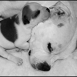 Our Alice by Bev Harrison - Animals - Dogs Puppies ( staffordshire bull terrier,  )