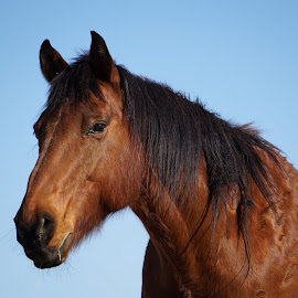 Horse Portrait by Lisa Hansen - Animals Horses ( farm, ranch, animals, equine, horses, horse, brown,  )