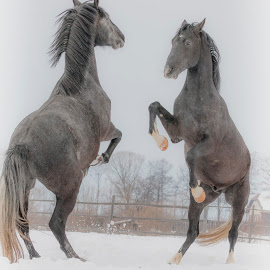 Two free horses are playing by Carla Coanda - Animals Horses ( playing, animals, magic, free, horses, magical, play, misty, animal,  )