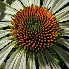Rudbeckia by Dunja Kolar - Flowers Flower Gardens ( rudbeckia )