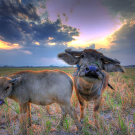 by Maja Wisesa - Landscapes Prairies, Meadows & Fields ( clouds, animals, lighting, hdr, sunset, meadow, landscapes, fields,  )