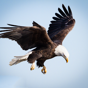 by Mike Trahan - Animals Birds ( flying, flight, nature, bald eagle, mississippi )