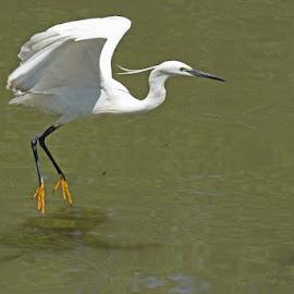 Egret by Dirk Luus - Animals Birds ( flight, animals, wings, birds, egret )