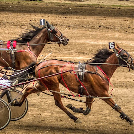 Family Tradition by Jeannie Meyer - Animals Horses ( iowa, harness races, horses, horse races, county fair,  )