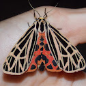 Virgin Tiger Moth