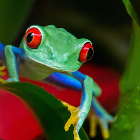 Red eyed tree frog by Pietro Ebner - Animals Reptiles ( reptiles, macro, red, frog, eyed,  )