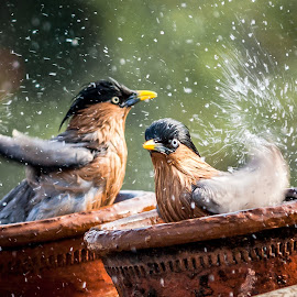 Freshen Up by Himanshu Sharma - Animals Birds ( water, fresh, happy, swim, india, candid, refresh, birds )