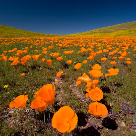 Poppies by Patrick Flood - Landscapes Prairies, Meadows & Fields ( canon, wildflowers, lancster, yellows, california, lanscape, state poppy reserve, fine art, depth of field, oranges, blues )