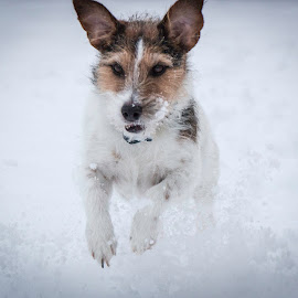 Playing in the Snow by Shawn Klawitter - Animals - Dogs Running ( animals, jack russell, dogs, snow, rinning )