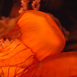 Jelly by Jose Matutina - Animals Other ( aquarium of the pacific, jelly )