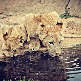 Lion Cub Twins by Jackson Visser - Animals Lions, Tigers & Big Cats ( water, babies, lion, drinking, cubs )