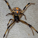 Brown button spider