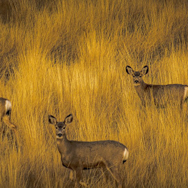 A Whitetail Family Portrait by Bob Juarez - Animals Other ( grasses, wildlife, doe, prairie, deer )