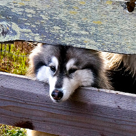 On Guard by Barbara Brock - Animals - Dogs Portraits ( fence, husky, dog, malamute, guard dog )