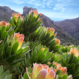 South African Protea by Shelly Morgenstern - Novices Only Flowers & Plants