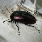 Purple darkling beetle